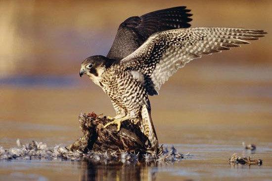 نمونهگیری از پرندگان شکاری در خواف