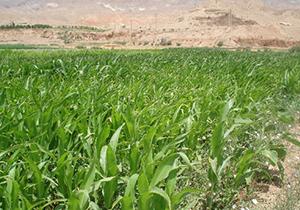 سرما به ۳۵۰ هکتار از اراضی کشاورزی خواف خسارت زد