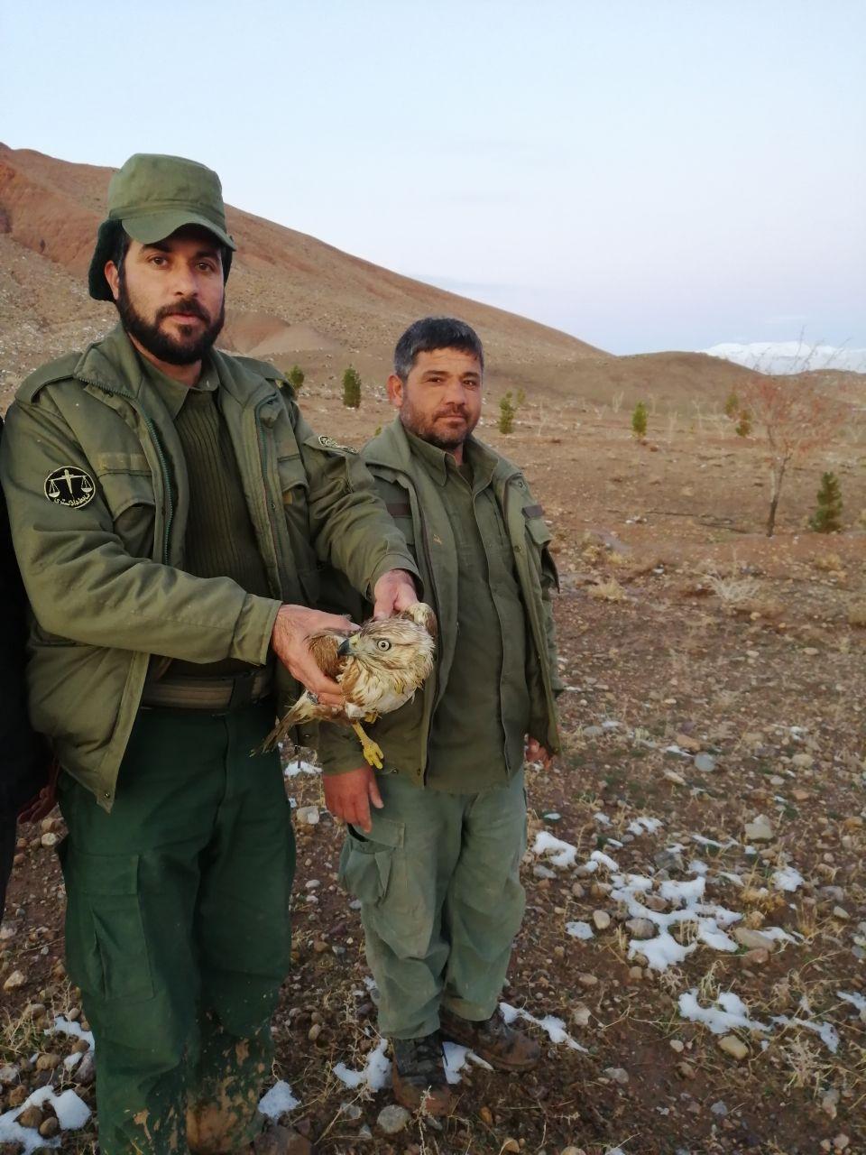 تیمار و رهاسازی یک بهله سارگپه به دامان طبیعت در خواف