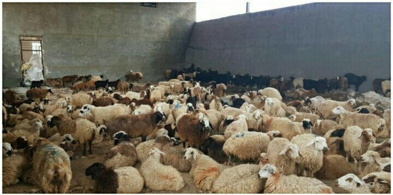 انتقال دام ها در روستای خرگرد به پناهگاه امن برای در امان ماندن از بارش ها