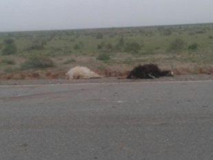 تصادف خودرو ۴۰۵ با یک گله گوسفند در روستای بیاباد ۱۲ راس گوسفند را تلف کرد
