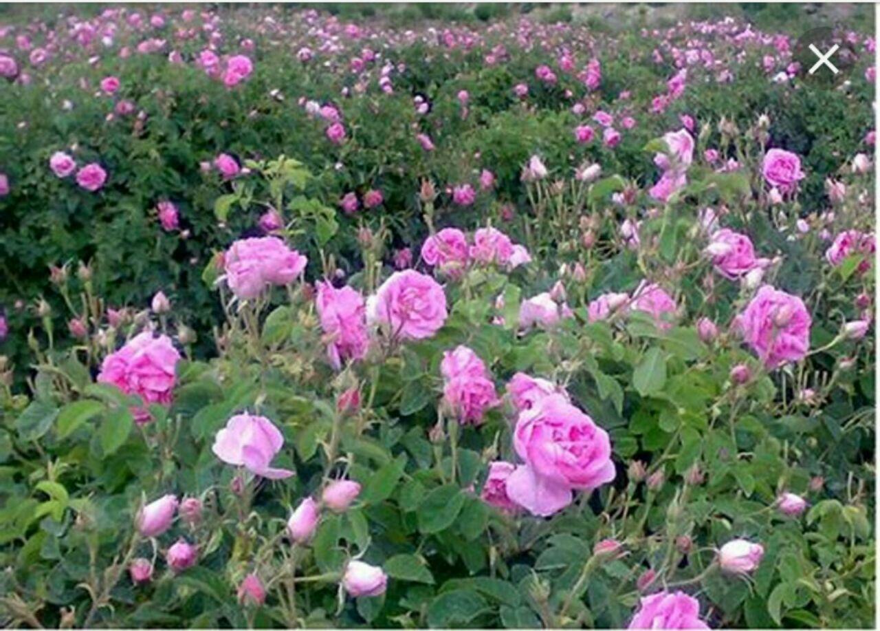 آغاز برداشت گل محمدی از سطح باغات شهرستان خواف