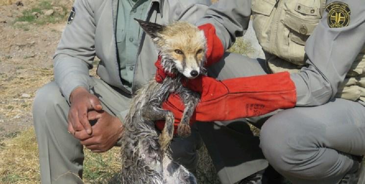 نجات یک قلاده روباه توسط محیط بانان در خواف