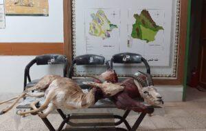 دستگیری شکارچیان آهو در خواف