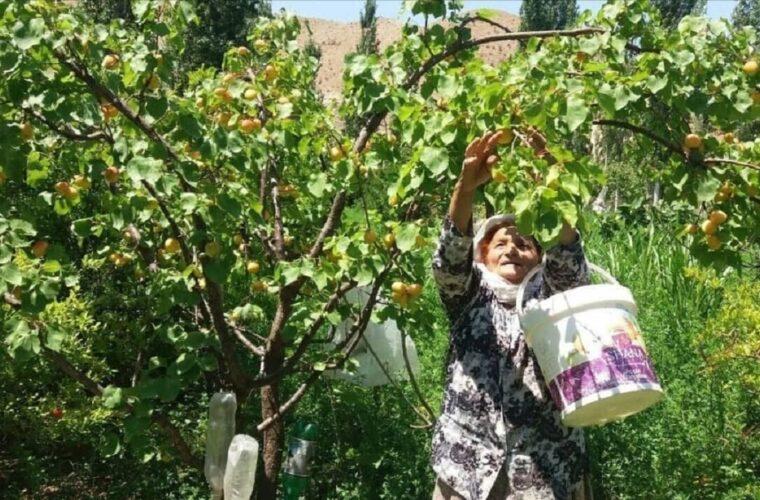 برداشت بیش از چهار هزار تن انواع محصولات باغی در خواف